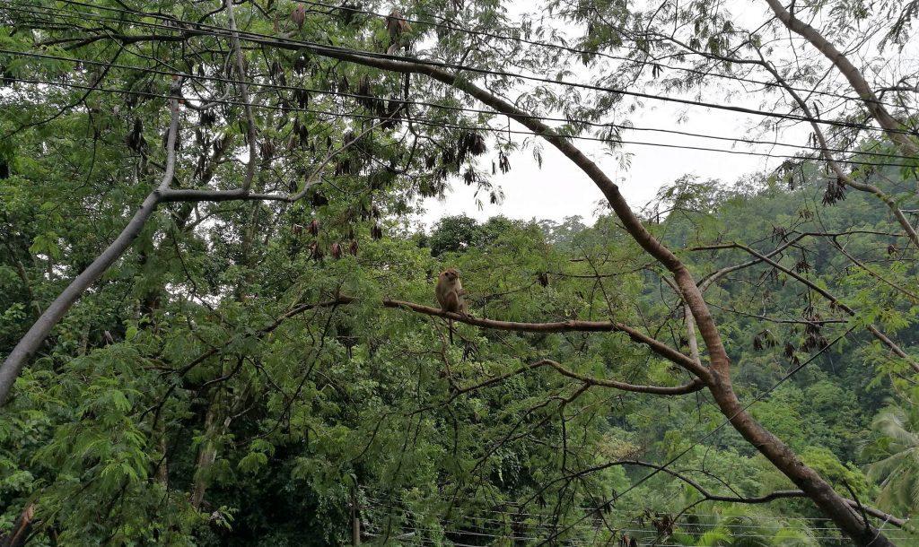 Apina istumassa puun oksalla
